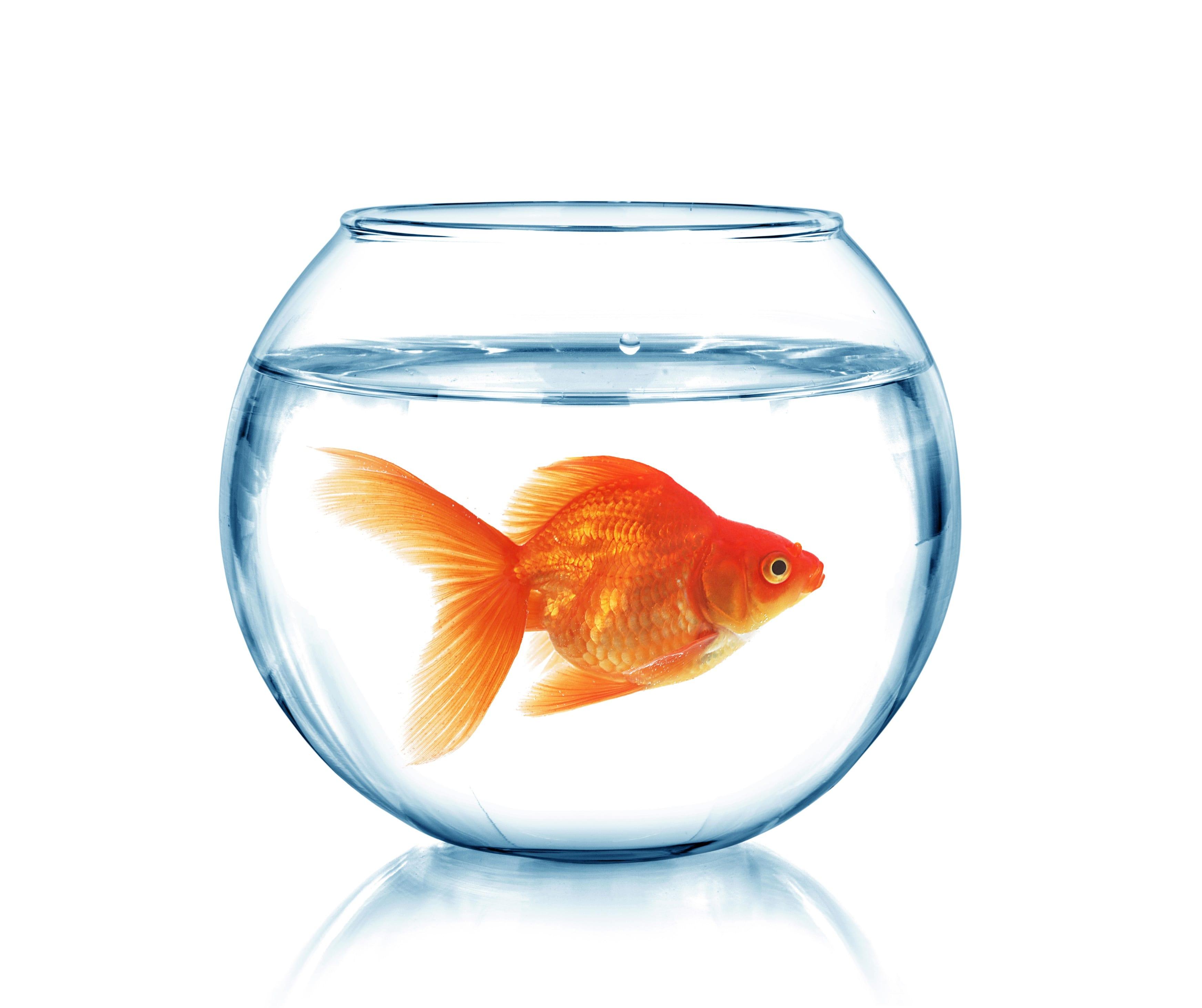Картинка рыбка золотая в аквариуме
